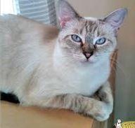 siamese-tabby-cat